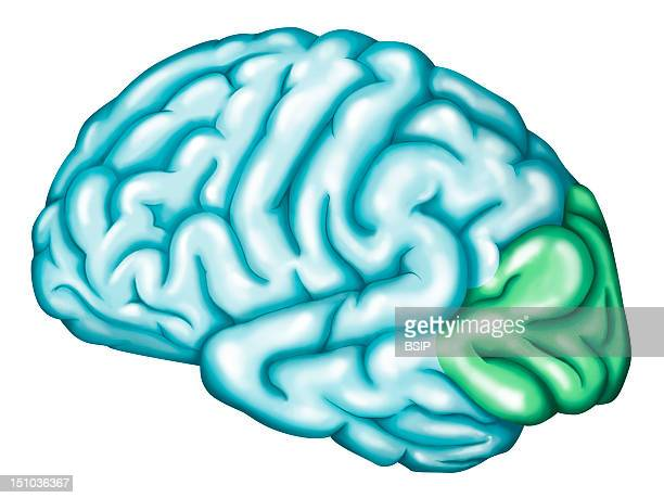 The Occipital Lobe Of The Brain The Occipital Lobe Of The Brain Corresponds To The Visual Cortex Ptimary Visual Area At The Extremity Surrounded By...