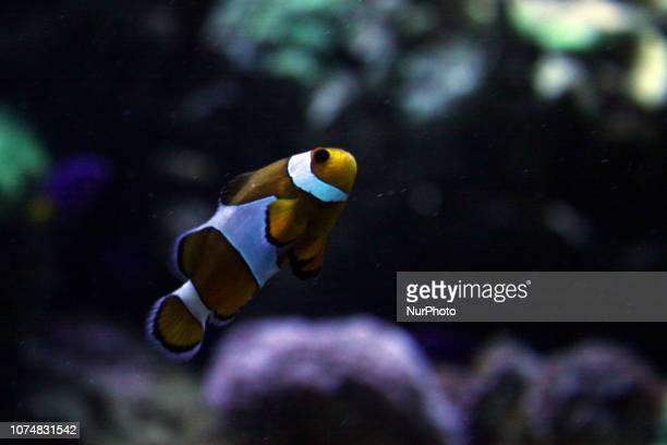 The Ocellaris Clownfish or known as Nemo Fish at Seaworld Indonesia Jakarta December 25 2018