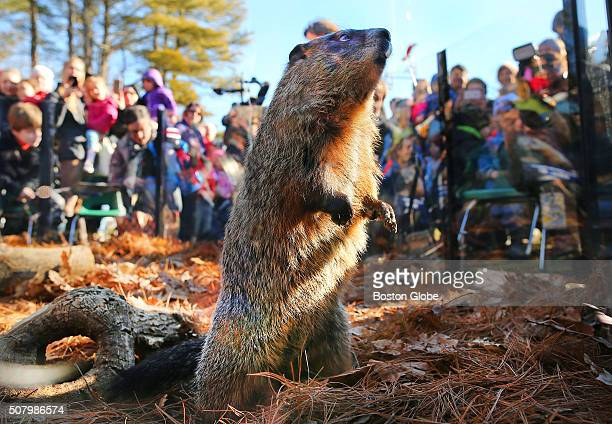 The official Massachusetts groundhog Ms G came out of hibernation at Mass Audubon's Drumlin Farm before a crowd of mostly children as she saw her...