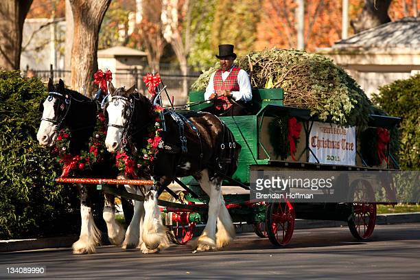 The official White House Christmas Tree arrives via horsedrawn carriage at the White House on November 25 2011 in Washington DC The tree a 19foottall...