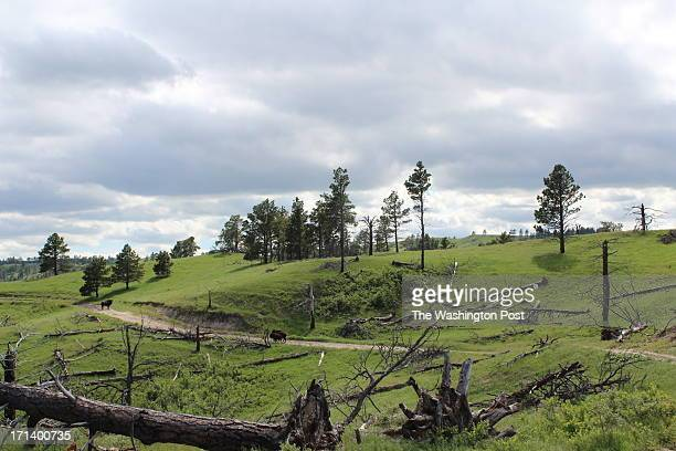 The Oglala Sioux raise bison on pastures pictured June 12 2013 in the Pine Ridge Indian Reservation which they hunt and harvest for meat But they...