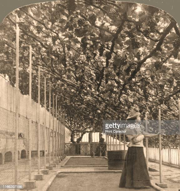 """The Oldest Grapevine in the World, Hampton Court Palace, England', 1897. From """"Underwood and Underwood Publishers, New York-London-Toroto..."""