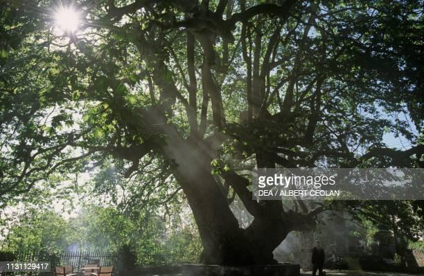 The oldest plane tree of Greece Tsagkarada Pelion Peninsula Greece