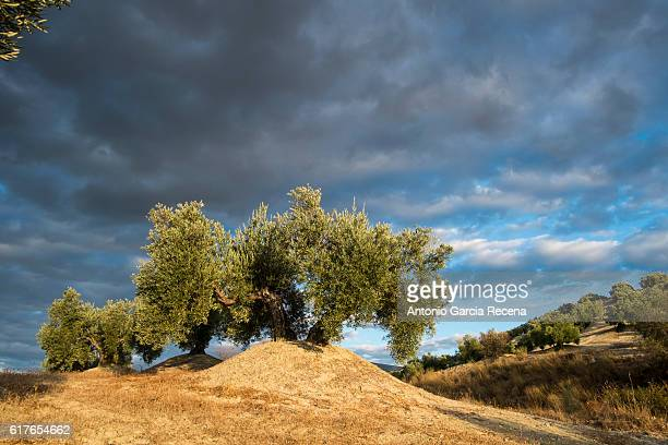 The olive and the cloud