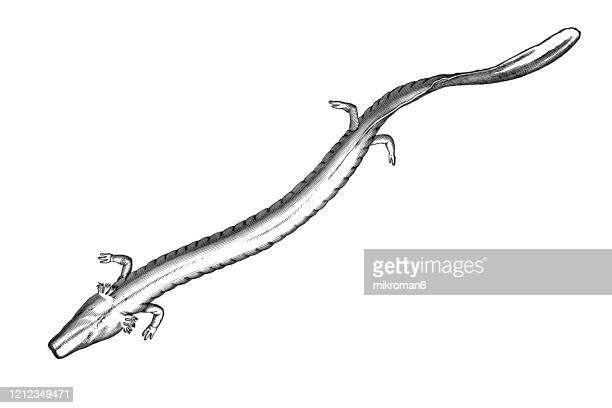 the olm or proteus (proteus anguinus) - species, classification of batrachians and other amphibia - osseous fishes. antique illustration, published 1894 - sapo do suriname imagens e fotografias de stock