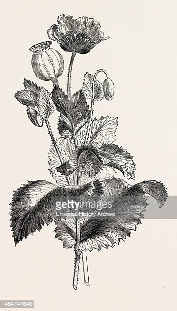 The Opium Poppy .