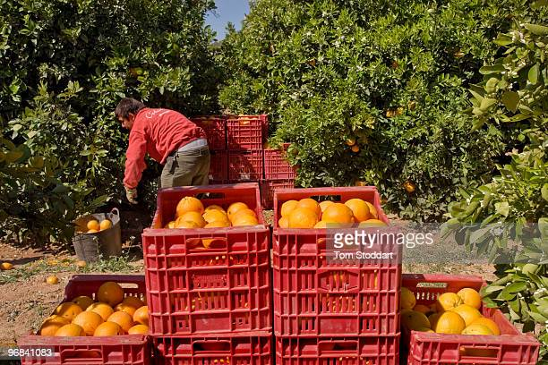 The orange growing area around Valencia in Spain is famous for producing high quality fruit At the Del Bajo Turia CoOperative they produce 11000...