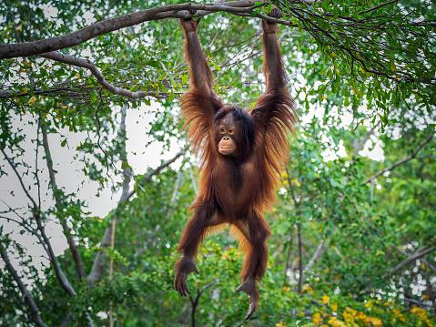 The orangutan is playing on the tree. 968812254