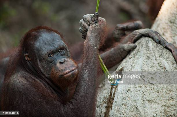 The orangutans are the two exclusively Asian species of extant great apes.