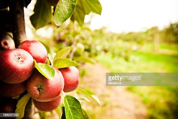 the orchard - orchard stockfoto's en -beelden