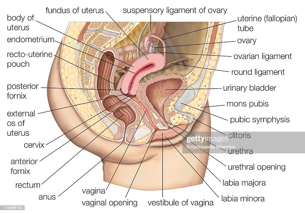 The Organs Of The Human Female Reproductive System Pictures Getty