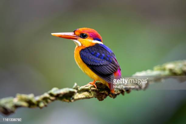 the oriental dwarf kingfisher ( ceyx erithaca ) bird. is a species of bird in the family alcedinidae. a widespread resident of lowland forest, it is endemic across much of the indian subcontinent and southeast asia. found in real nature of thailand. - black dwarf stock pictures, royalty-free photos & images