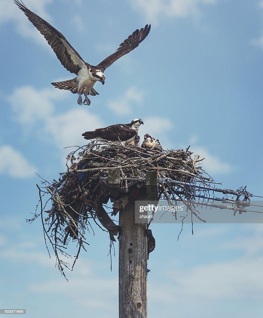 The Osprey Family : Stock Photo