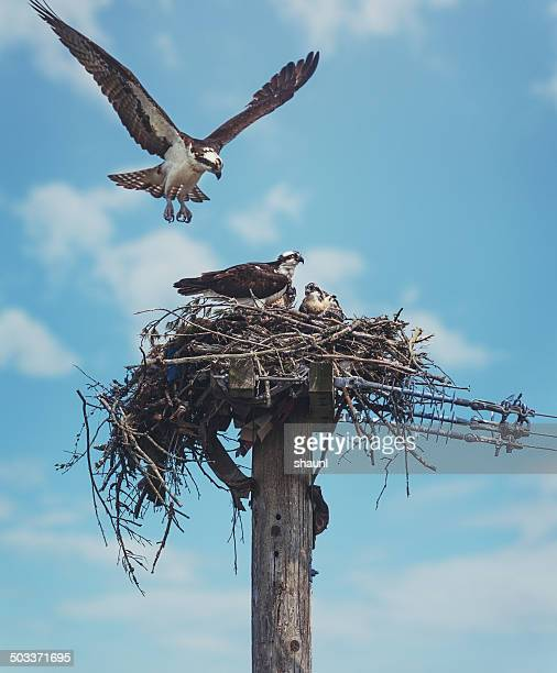 the osprey family - hawk nest stock photos and pictures