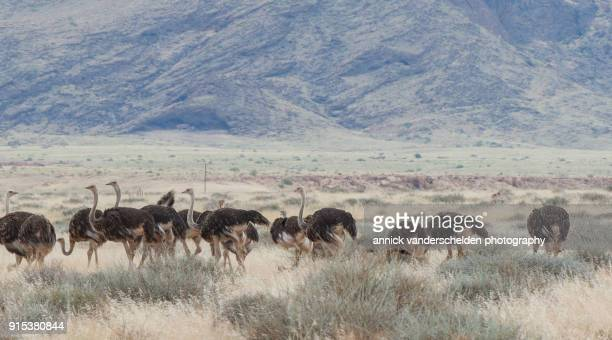 the ostrich or common ostrich (struthio camelus) in namib-naukluft national park. - flightless bird stock photos and pictures
