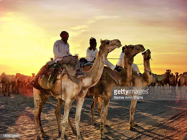 The owner and some of camels shepherds were going to Egypt to sell camels Dongola, Sudan