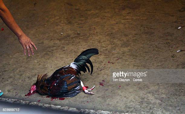 The owner of a beaten game cock reaches down to collect his dead bird after a fatal blow delivered by it's competitor at the Makati Coliseum October...