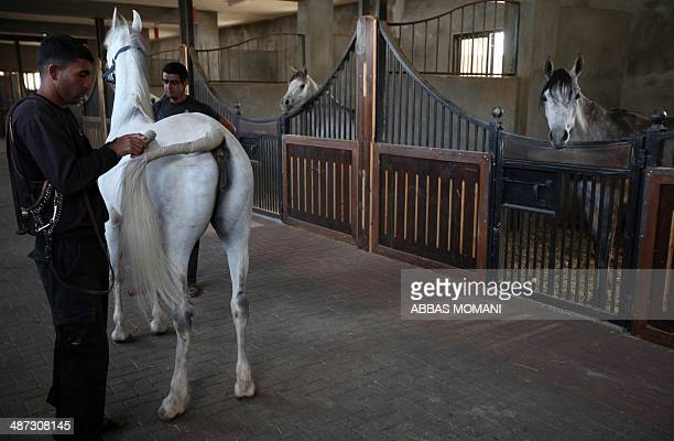 The owner of a breeding farm Louai Suleiman brushes a horse as he prepares it for mating at his farm in the West Bank city of Ramallah on April 27...