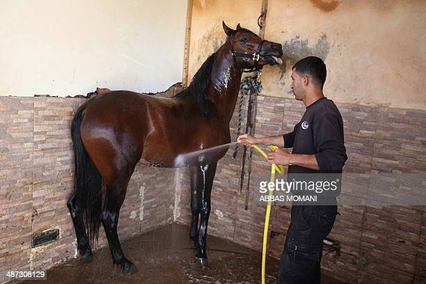 The owner of a breeding farm Louai Suleiman washes a horse as he prepares it for mating at his farm in the West Bank city of Ramallah on April 27...