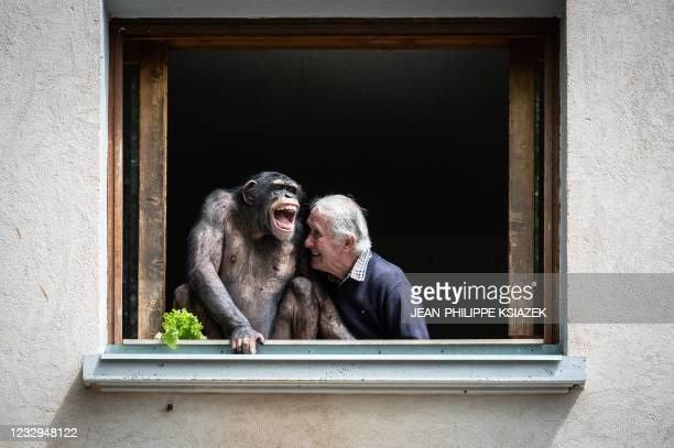 The owner of the zoo Pierre Thivillon laughs next to a chimpanzee on May 17 at the zoological park of Saint-Martin-la-Plaine, two days ahead of its...