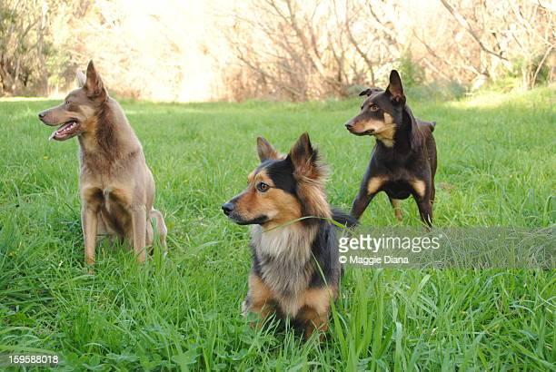 the pack! - オーストラリアンケルピー ストックフォトと画像