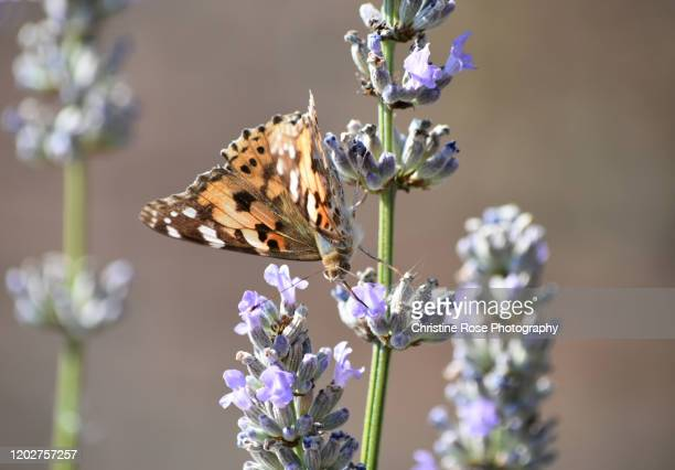 the painted lady loves the lavender - feeding stock pictures, royalty-free photos & images