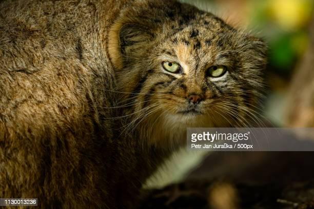 the pallas's cat in the brno zoo - felino selvatico foto e immagini stock