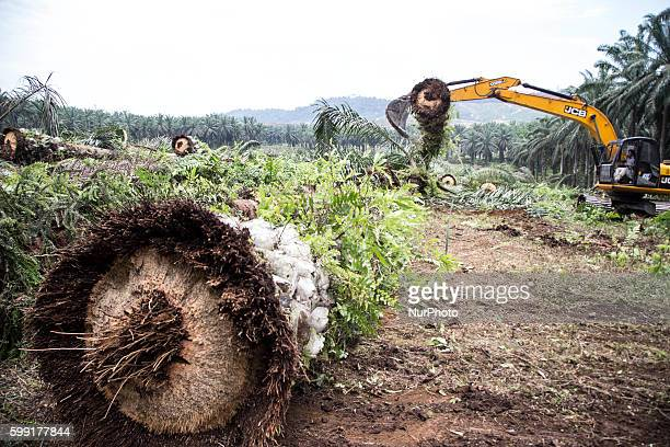 The Palm oil trees that have been knocked down allowed on the ground without burnt as nature will destroyed by it self in West Sumatera Indonesia on...