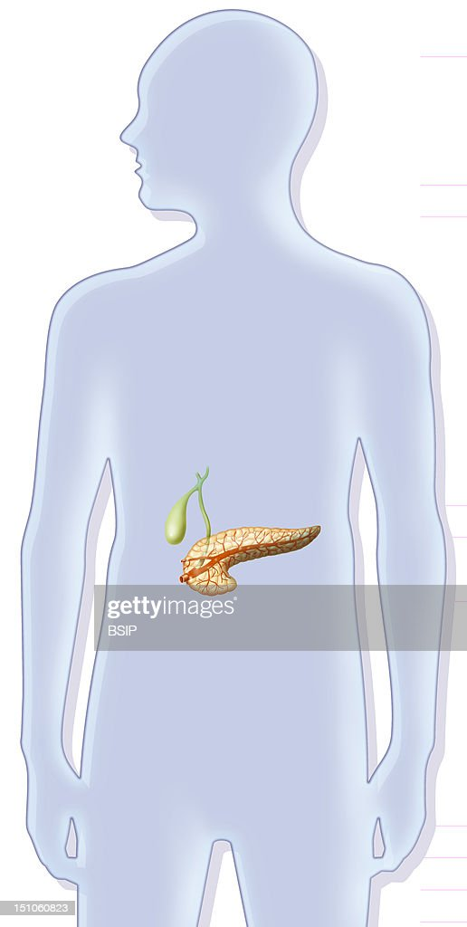 Pancreas Drawing Pictures Getty Images
