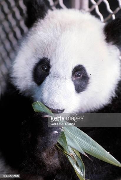 The Pandas Of Vincennes Zoo France Vincennes décembre 1973 Dans sa cage du zoo de Vincennes le panda mâle YENYEN mangeant des feuilles de bambou