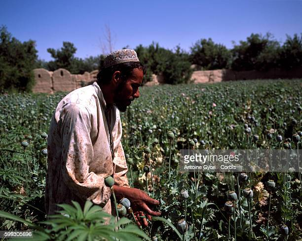 The Panjawyi district where grapevines and opium are cultivated along the Arghandab River is one of the most dangerous regions the Canadian troops...