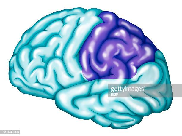 The Parietal Lobe Of The Brain The Parietal Lobe Of The Brain Includes The Somatosensory Cortex Primary Somatosensory Cortex Anteriorly And...