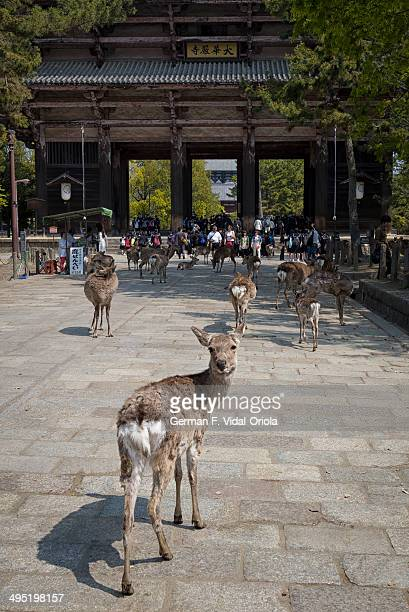 The parks in Nara are crowded with deers. They are used to the tourists that feed them and so they are very inquisitive with everyone.