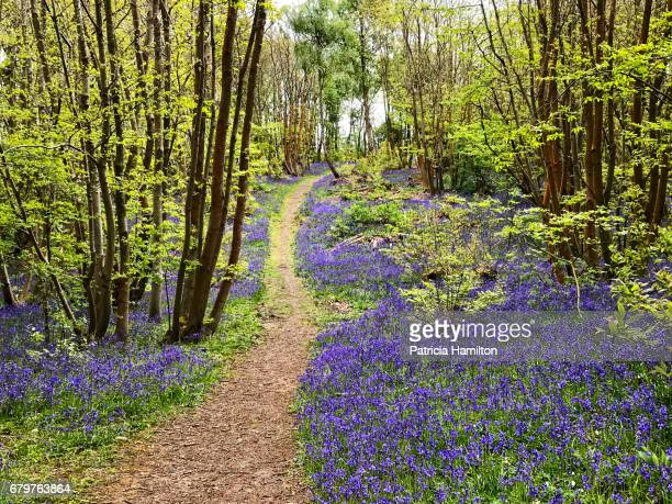 The path uphill through the bluebells.