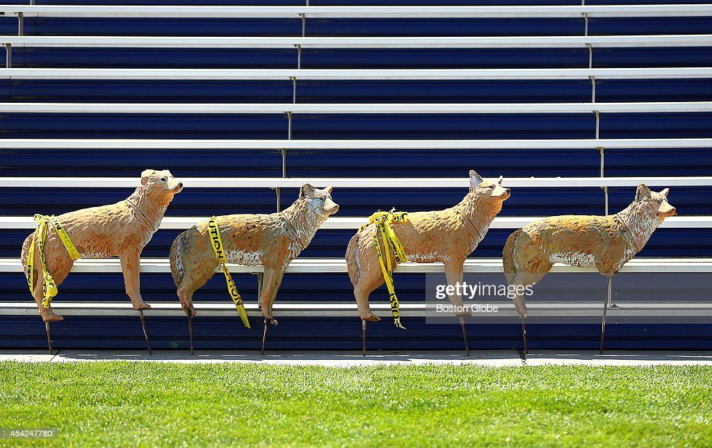The Patriots held practice at the practice field next to Gillette Stadium. The only thing in the stands at practice was a pack of coyote's that are put on the grass after practice to keep the Canada geese away.