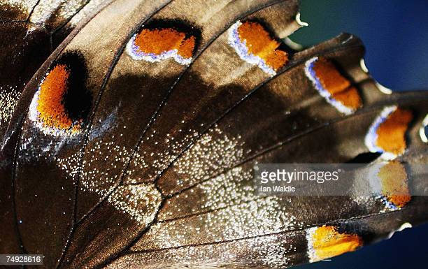 """The pattern on the wings of a Ulysses butterfly are seen during the opening of the interactive butterfly habitat """"Flutterbys"""" at Sydney Wildlife..."""