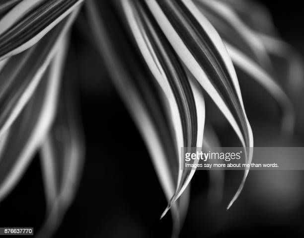 The patterns of nature. Close-up of dracaena's leaves. Black and White.