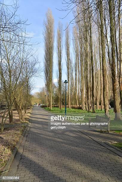 The paving walking away along poplars