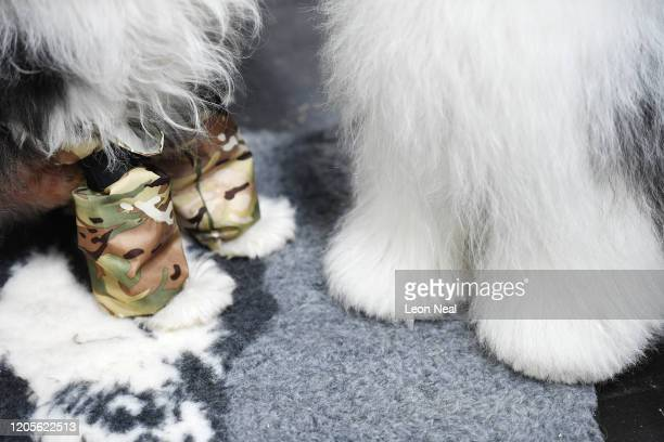 The paws of two Old English Sheepdogs who are waiting to be groomed on day 3 of the Crufts dog show at the NEC Arena on March 7, 2020 in Birmingham,...