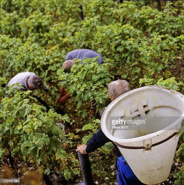 The Pays De Gavot In France - Wine harvest at Feternes in Jordil's vineyard.