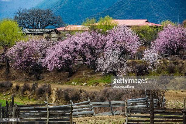 the peach blossom is in full bloom - peach blossom bildbanksfoton och bilder