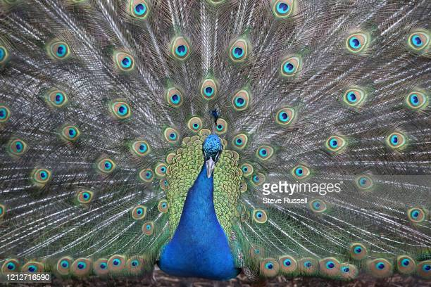 The Peacocks wander around the Toronto Zoo which is still closed to prevent the spread of COVID-19 during the pandemic in Toronto. May 2, 2020.