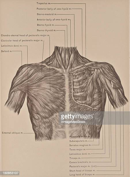 The pectoralis major muscle is a large thick flat and triangular and covers the front of the chest and axilla 1899 From 'The Treatise of the Human...