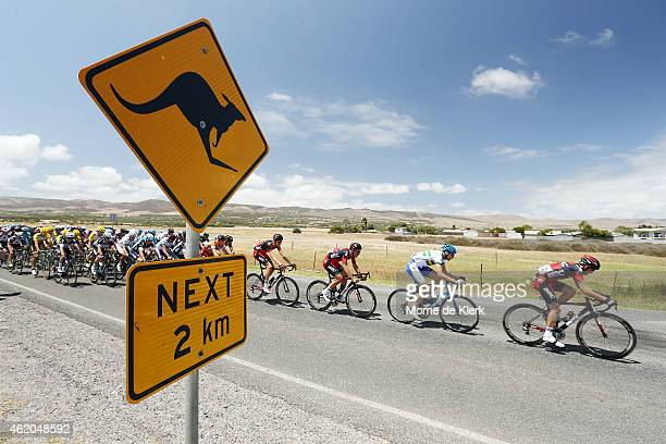 The peleton rides past a roadsign warning of kangaroos during Stage 5 of the 2015 Santos Tour Down Under on January 24 2015 in Adelaide Australia