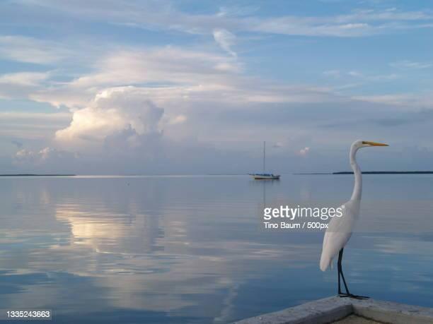 the pelican of mykonos,florida keys,florida,united states,usa - baum imagens e fotografias de stock