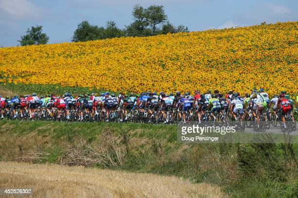The peloton passes by sunflower fields during the sixteenth stage of the 2014 Tour de France a 238km stage between Carcassonne and BagneresdeLuchon...