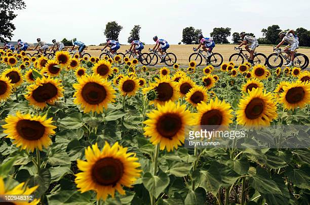 The peloton rides past some sunflower fields on stage thirteen of the 2010 Tour de France from Rodez to Revel on July 17 2010 in Revel France