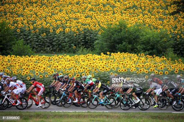 The peloton rides past sunflowers during stage 11 of the 2017 Le Tour de France, a 203.5km stage from Eymet to Pau on July 12, 2017 in Eymet, France.