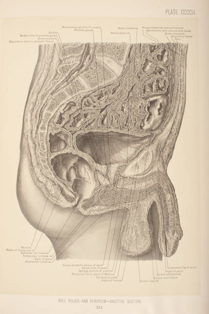 Male Pelvis Perineum Sagittal Section Pictures Getty Images