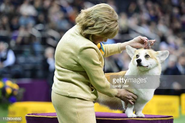 The Pembroke Welsh Corgi named 'Xiv Karat Special Place In My Heart at Brigadoon' competes during the Herding Group judging at the 143rd Westminster...